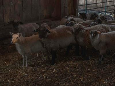Livestock 01