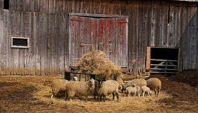 Livestock 07