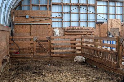 Livestock 06