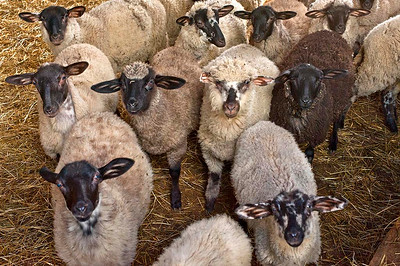 Livestock 05