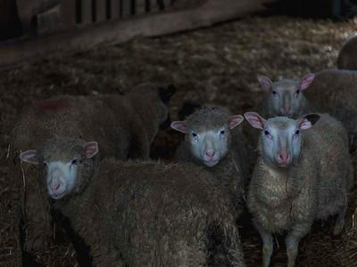 Livestock 03