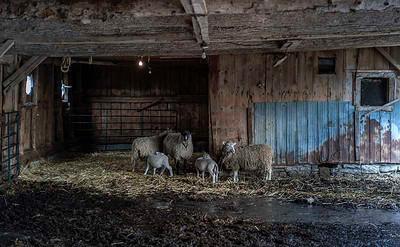 Livestock 08