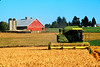 Wheat harvest in Skagit County, WA