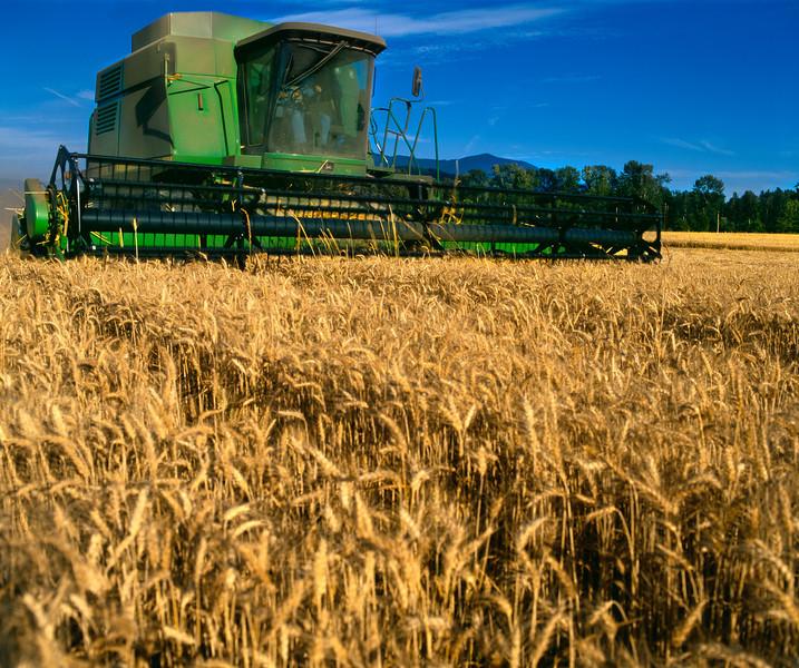 Harvesting wheat in Skagit County, Washington