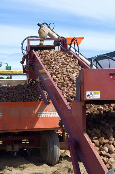 Loading potato seed into the planter