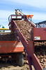 Loading potato seed into the planter