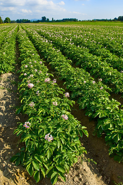 Field of red potato plants with blossoms in northwest Washington