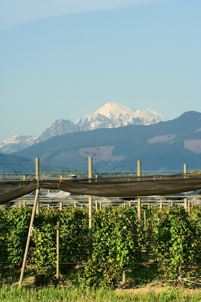 Berry canes with Mt. Baker in the background