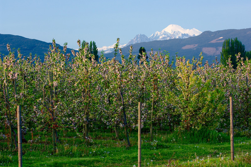 Apple trees in blossom in Skagit County, Washington