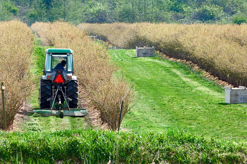 Mowing between rows of blueberry bushes