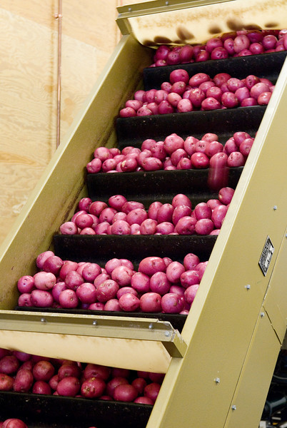 Processing Potatoes