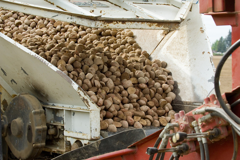 Potato seed from a truck being transferred to the planter