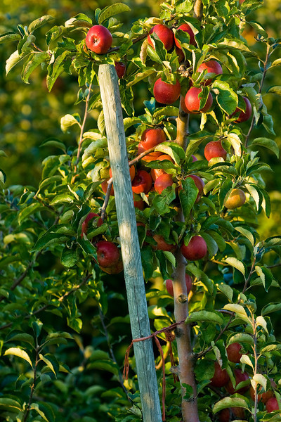 Mature apples in Skagit County, WA