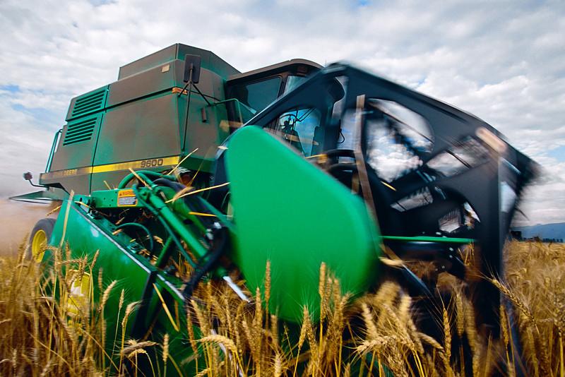 Harvesting wheat in Skagit County, WA