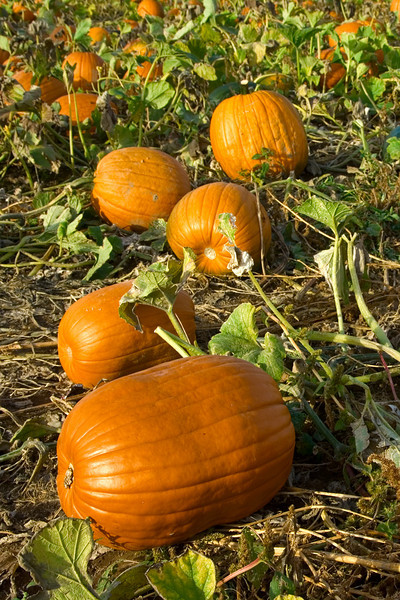 Harvested pumpkins in the field