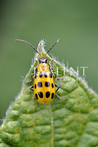 Southern Corn Rootworm Beetle or Spotted Cucumber Beetle