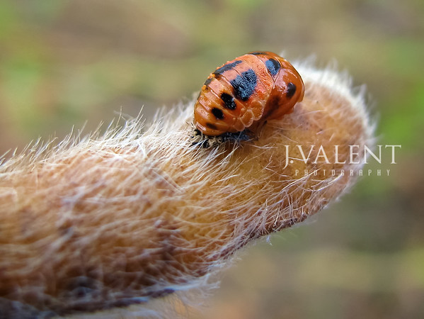 Lady Beetle - Pupal Stage