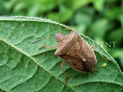 Brown Stink Bug (Adult), Euschistus servus with Aphid