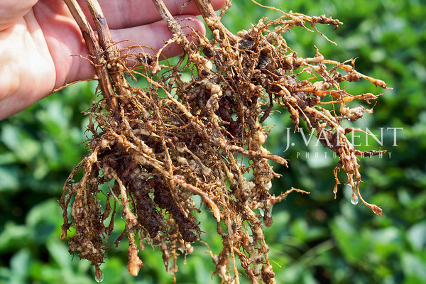 Soybean Injury, Root Knot Nematode