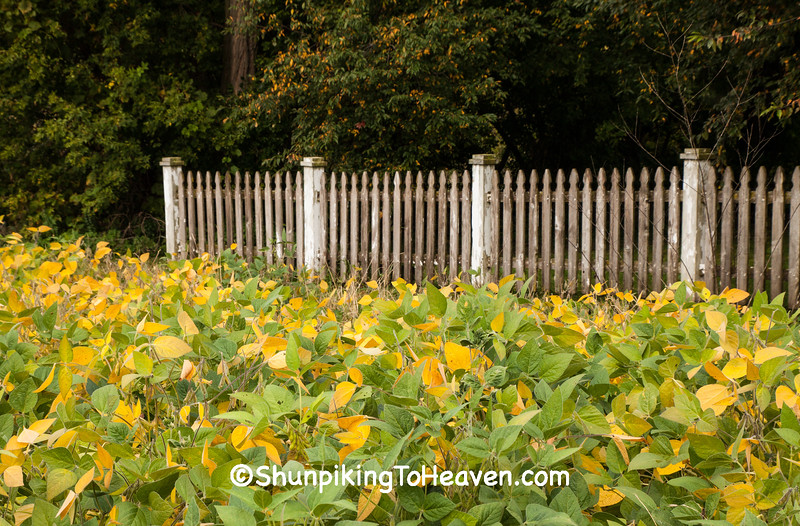 Soybeans and Picket Fence, Richland County, Wisconsin