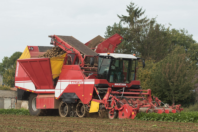 Grimme  Maxtron 620 harvesting sugarbeets in Gevenich.