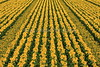 Rows Of Sunflowers 1