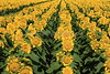 Sunflower Rows 1
