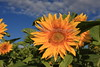 Sunflower 8