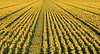 Sunflower Rows 3