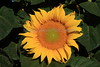 Sunflower 9