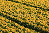 Rows Of Sunflowers 2
