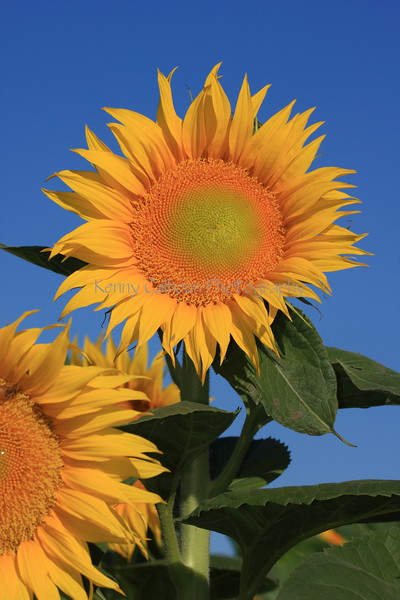 Standing Up Sunflower