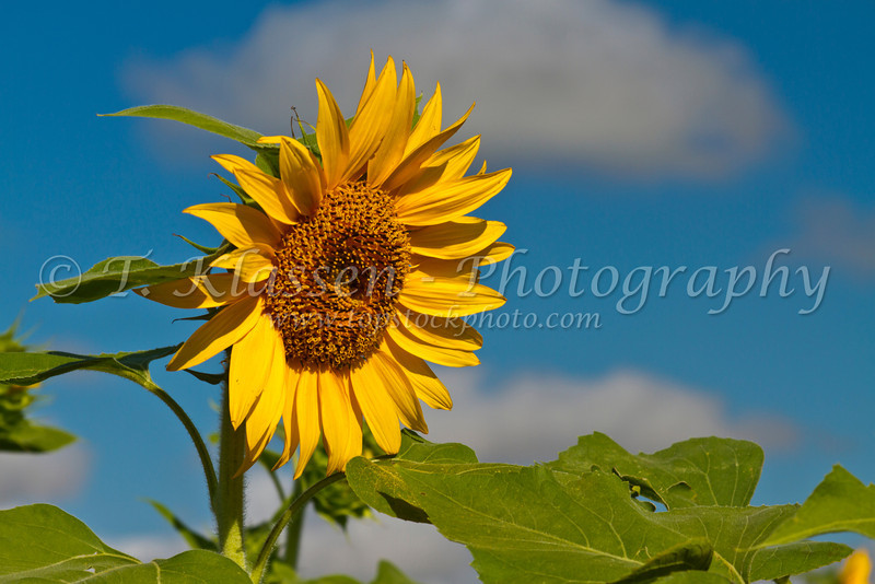 Sunflowers in bloom near Plum Coulee, Manitoba, Canada.