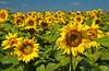 Sunflower fields near Brandon, Minnesota USA