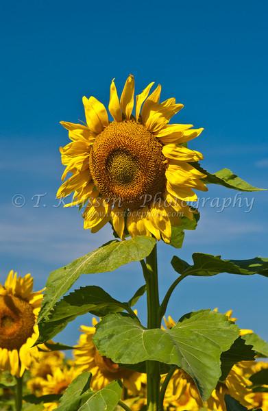 Sunflower fields near Brandon, Minnesota, USA, America.