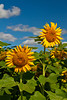 Sunflowers on a field near Winkler, Manitoba, Canada.