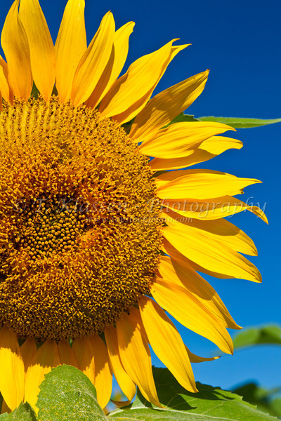A sunflower head closeup on a field near Winkler, Manitoba, Canada.