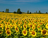 Sunflower fields near Brandon, Minnesota, USA, America