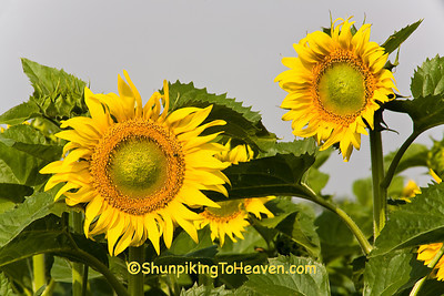Summer Sunflowers, Columbia County, Wisconsin
