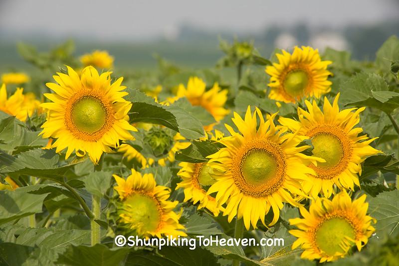 Summer Sunflowers, Columbia County, Wisconsin