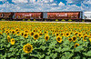 Grain cars and a blooming sunflower field near Brunkild, Manitoba, Canada.