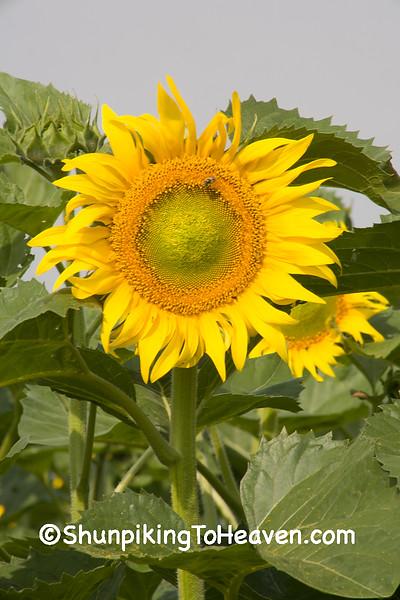 Summer Sunflower, Columbia County, Wisconsin