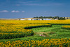 A bright field of blooming sunflowers near Linton, North Dakota, USA.