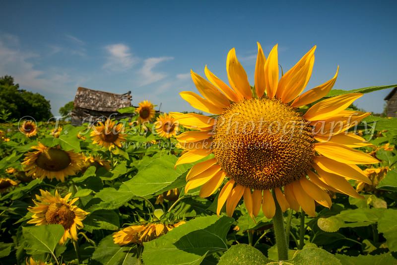 Sunflowers in bloom on the prairies near Winkler, Manitoba, Canada.