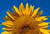 A sunflower head closeup on a field near Winkler, Manitoba, Canada.