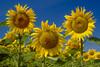 Three sunflower heads blooming near Winkler, Manitoba, Canada.