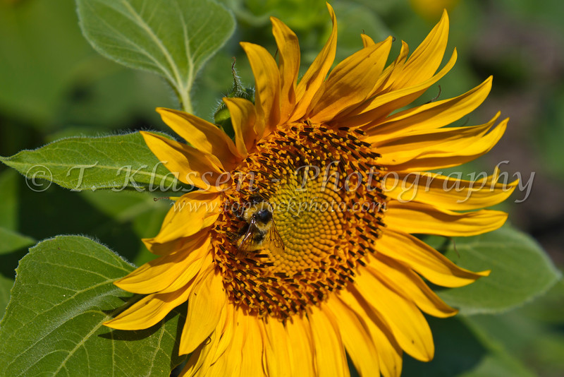 A bee pollinating a sunflower near Plum Coulee, Manitoba, Canada.