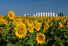 A field of sunflowers and a fertilizer distribution depot near Plum Coulee, Manitoba, Canada.