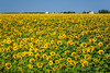 A sunflower field on the prairies near Plum Coulee, Manitoba, Canada.