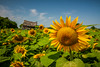 Sunflowers in bloom on the prairies near Winkler, Manitoba, Canada.